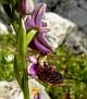 ophrys hybrid ferrum x mamosa ή ferrum x aesculapii (4)