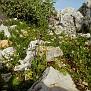 ophrys hybrid ferrum x mamosa ή ferrum x aesculapii (8)