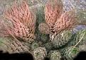 Haworthia reinwardtii kafferdriftensis Kafferdrift
