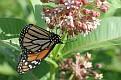 Monarch feeding on milkweed