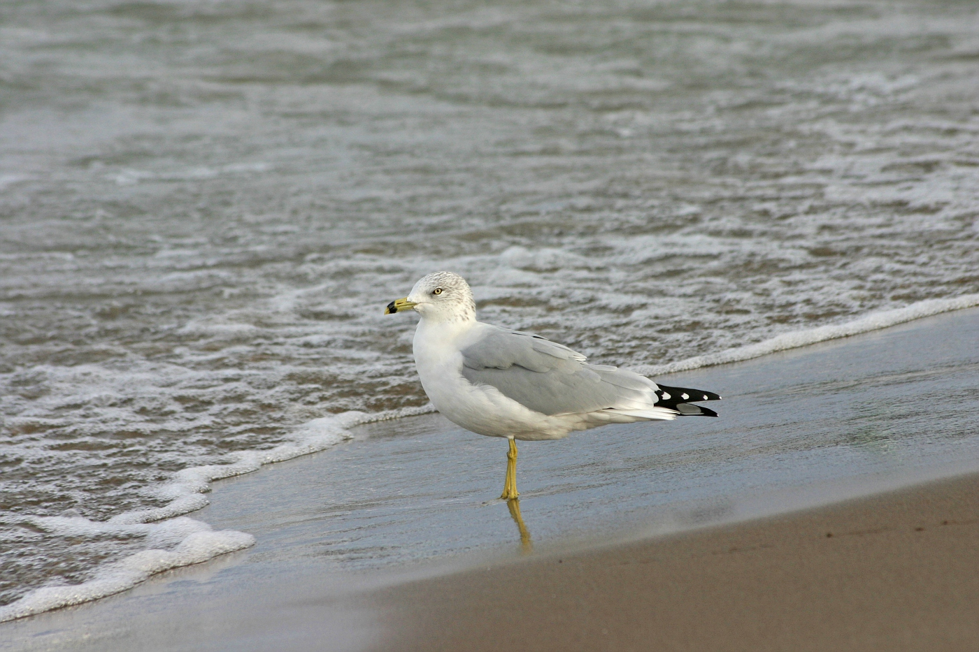 Ring-Billed Gull on the Sand