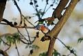 Male Bluebird #33