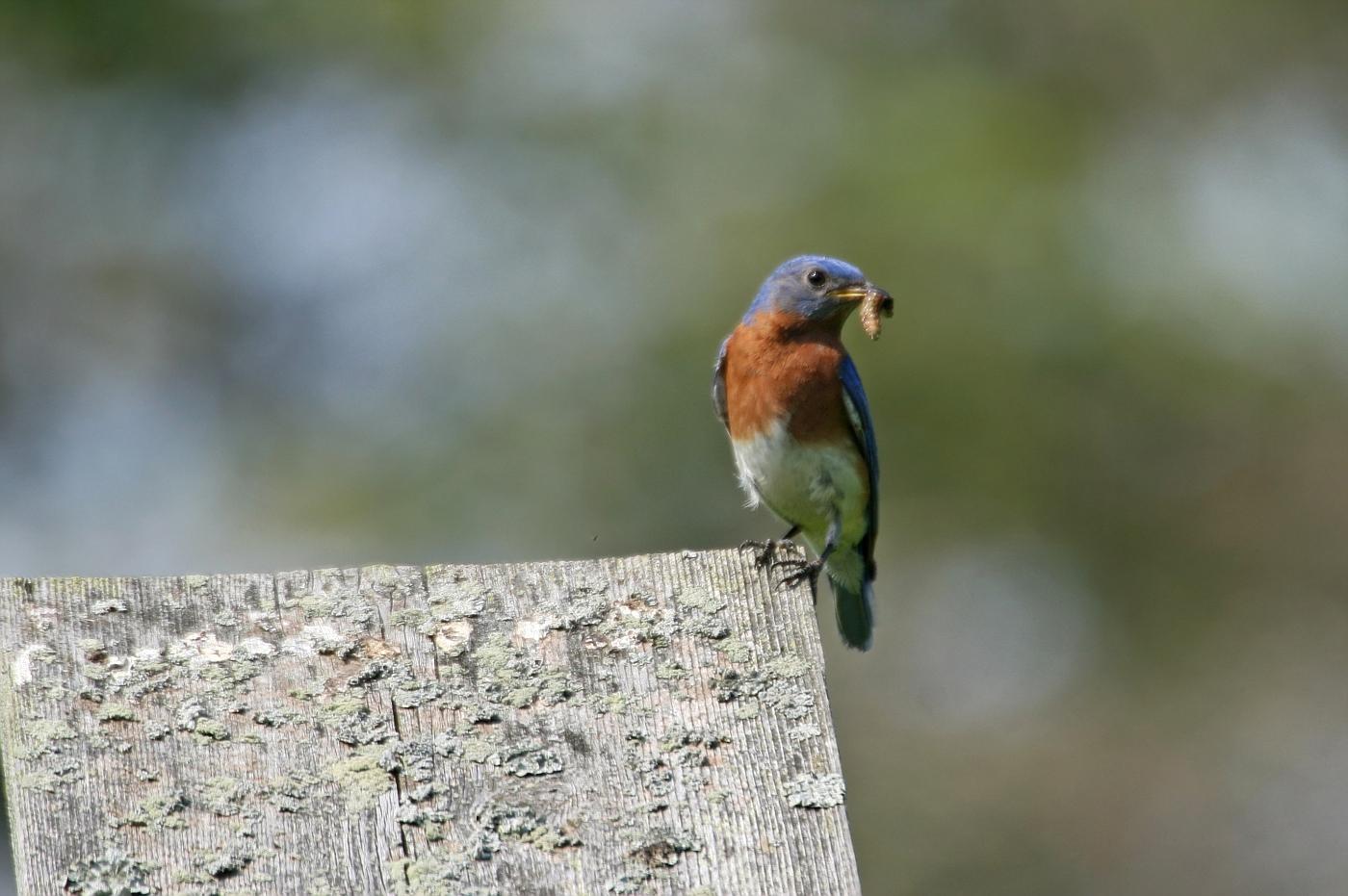 Male Bluebird #7