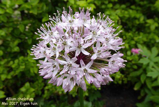 Allium chelotum