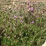 Ptilostemon chamaepeuce subsp  cyprius endemic (6)