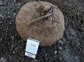 Βολβός C  graecum  17 5 κιλά (3)