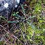 Euphorbia apios (4)