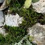Cheilanthes fragrans (1)