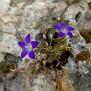 Campanula drabifolia (8)