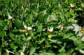 Paeonia mascula subsp  mascula (8)