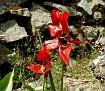 Tulipa agenensis (12)
