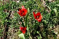 Tulipa agenensis (19)