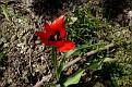Tulipa agenensis (7)