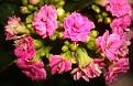 Kalanchoe blossfeldiana cv. Calandiva