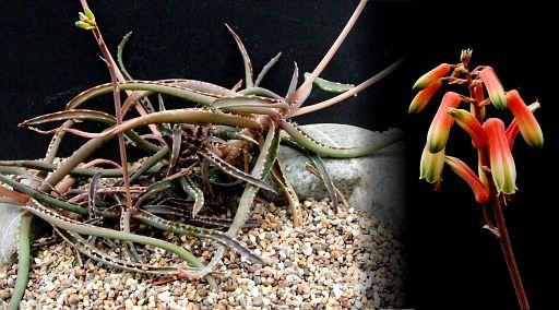 Aloe anivoranoensis