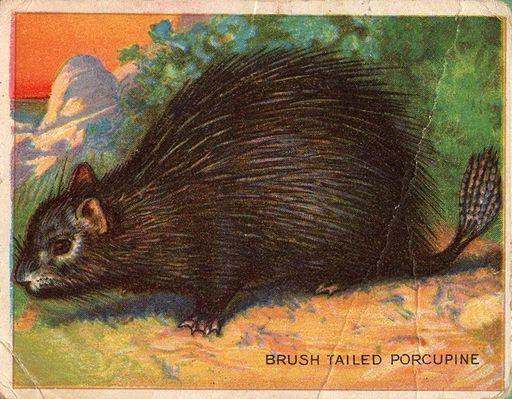 1909-11 Hassan Animal Series Brush Tailed Porcupine (1)