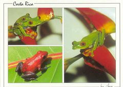 Costa Rica - RED EYED LEAF FROGS NA
