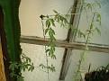 Cissus sp -Tanzania