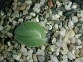 Drimia unifolia