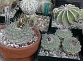 Strombocactus