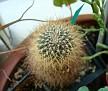 Rebutia glomeriseta ( Sulcorebutia memesesii )