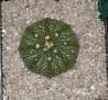 Astrophytum asterias (s)