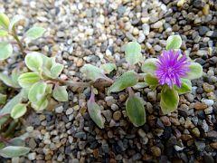 Aptenia lancifolia fa. variegata