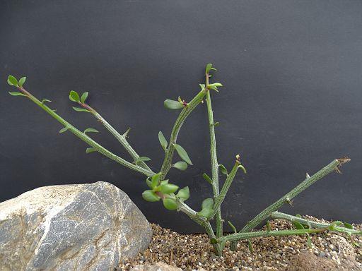 Kleinia longiflorus 3 Km N.E. Burgersfort 1.JPG