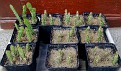 meine Kakteensämlinge (Aussaat März 2011; Bild vom 12.Mai 2012) my cactus seedlings (sown March 2011; Image of May 12, 2012)