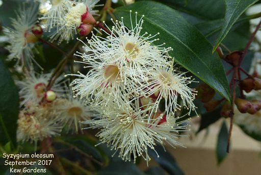 Syzygium oleosum