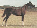 MA SABHA #495028 (Sir Musk x R R Serennity, by Rainey Baskman) 1993 chestnut filly bred by Janet Jordan